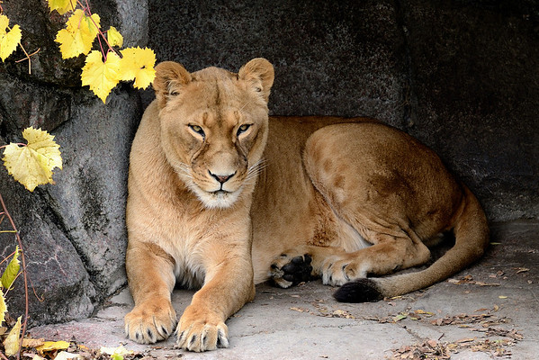 Cleveland Metroparks Zoo - Lioness