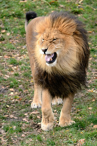 Cleveland Metroparks Zoo - Roaring Lion