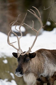 Reindeer - Cleveland Metroparks Zoo
