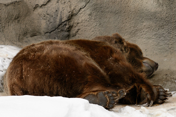 Grizzly Bear - Cleveland Metroparks Zoo