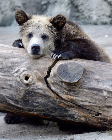 Grizzly Cub at the Cleveland Metroparks Zoo