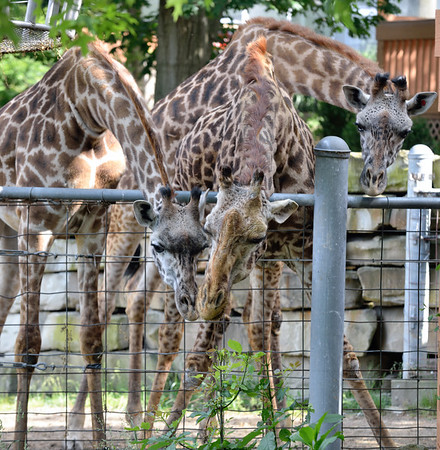 Giraffes at the Cleveland Metroparks Zoo