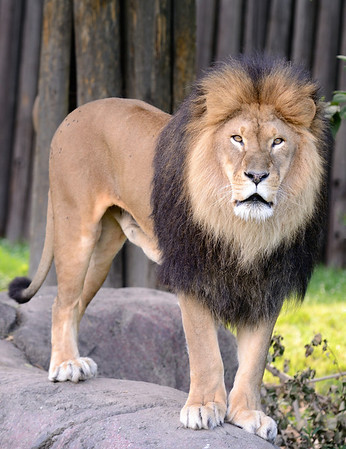 Lion at the Cleveland Metroparks Zoo