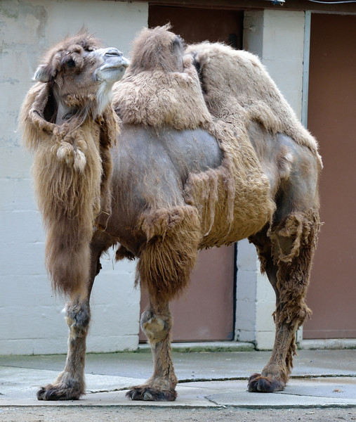 Camel - Cleveland Metroparks Zoo