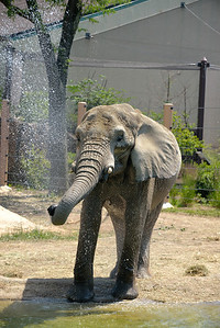 Elephant Cooling Off - Cleveland Metroparks Zoo