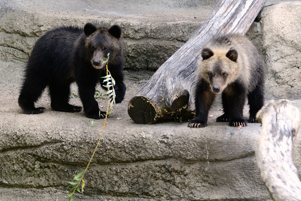 Cooper and Cody - Bear Cubs at the Cleveland Metroparks Zoo