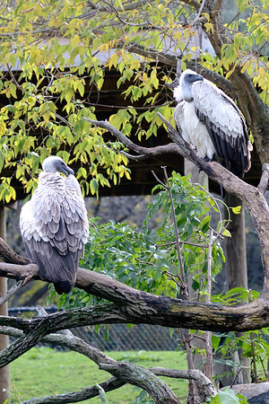 Vultures - Cleveland Metroparks Zoo
