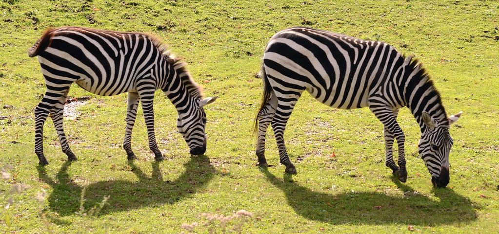 Zebras - Cleveland Metroparks Zoo