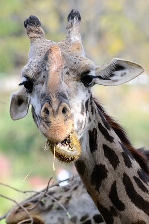 Giraffes - Cleveland Metroparks Zoo