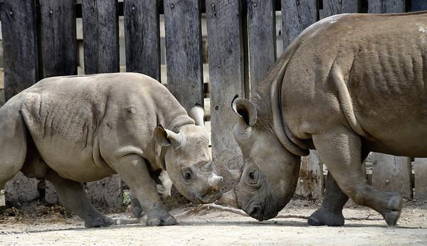 Rhinos Charging