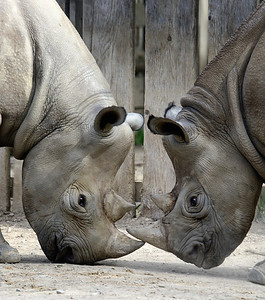 Rhinos Faceoff