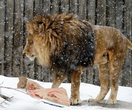 Thanksgiving Dinner for the Lion