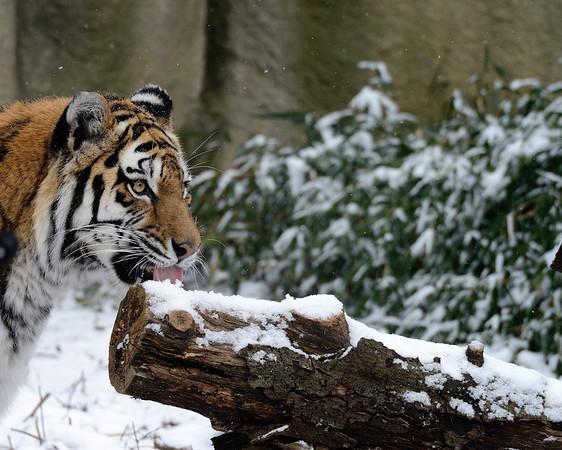 Tiger SnoCone