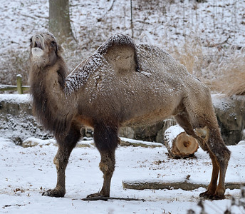 Camel - Thanksgiving at the Cleveland Metroparks Zoo