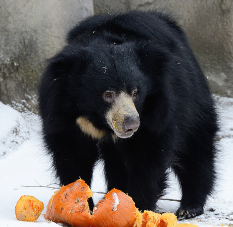Sloth Bear having a Pumpkin for Thanksgiving