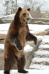 Standing Grizzly Bear at the Cleveland Metroparks Zoo