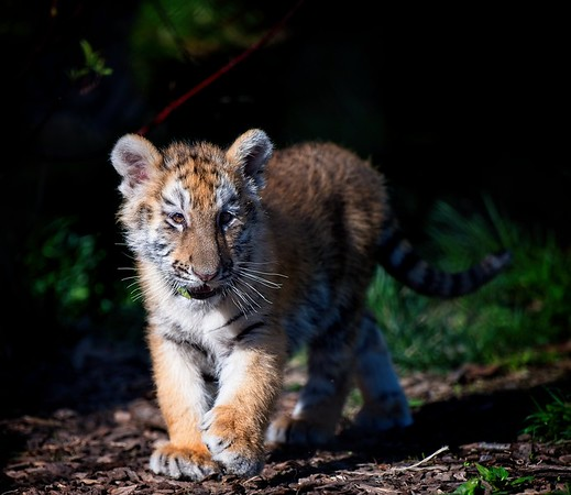 Tiger Cubs - Cleveland Metroparks Zoo 2021