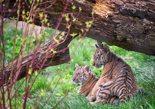 Tiger Cubs at  the Cleveland Metroparks Zoo 2021