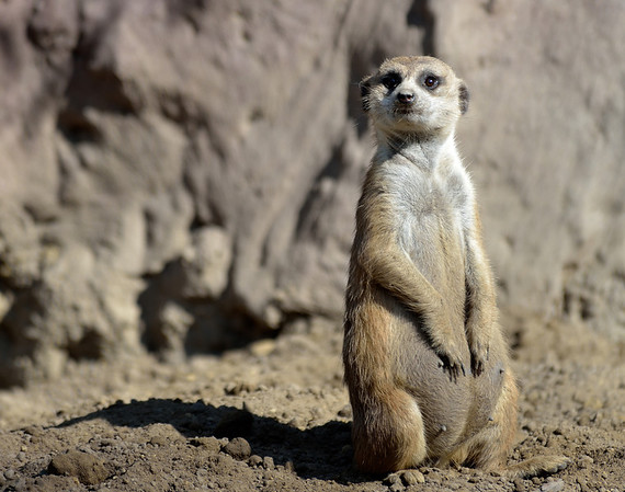 Meerkat at the Cleveland Metroparks Zoo