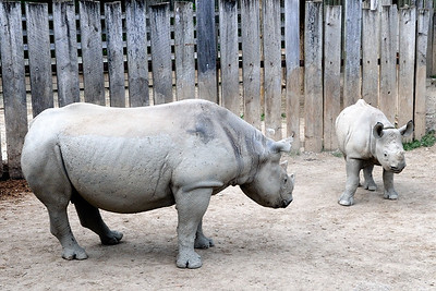 Rhinos - Cleveland Metroparks Zoo