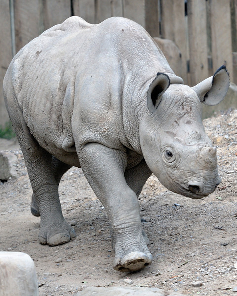 Young Rhino - Cleveland Metroparks Zoo