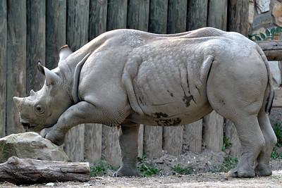 Posing Rhino - Cleveland Metroparks Zoo