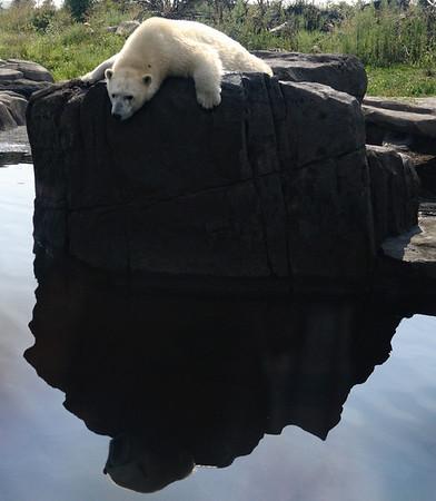 Polar Bear - Columbus Zoo