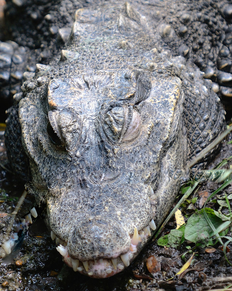 Crocodile at the Pittsburgh Zoo