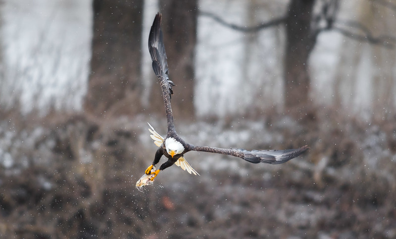 Bald Eagle flies away with dinner in its talons along the Wabash River in Lafayette, Indiana on January 29th, 2017