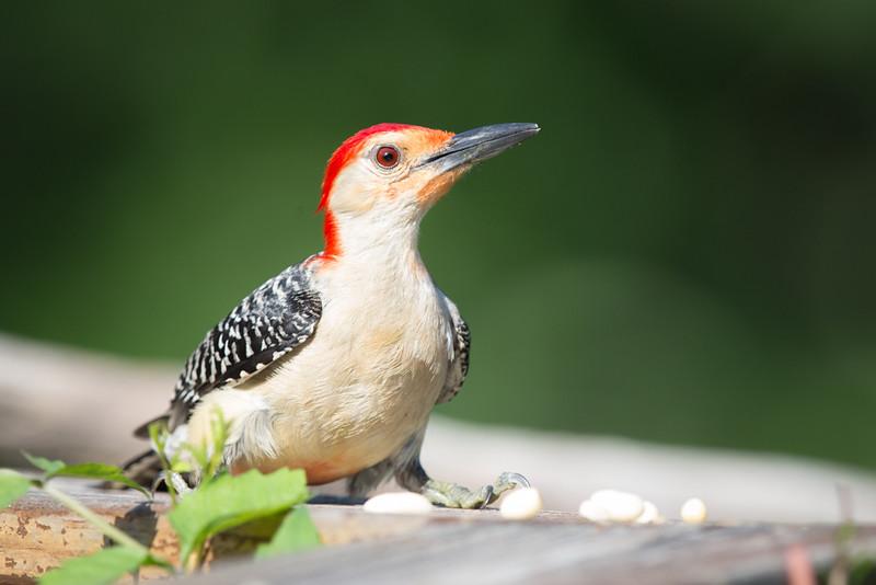 Red-bellied Woodpecker - Male-5602