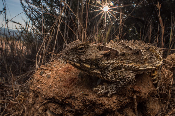 The coast horned lizard (Phrynosoma blainvillii), A flat bodied lizard that is found in chaparral habitat where it feeds predominantly on ants, development and the spread of nonnative argentine ants are its main threats.