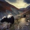 Himalayin Yak