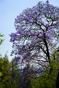 When jacaranda trees bloom in Spring the purple trumpet blossoms line the city bringing vibrant colors