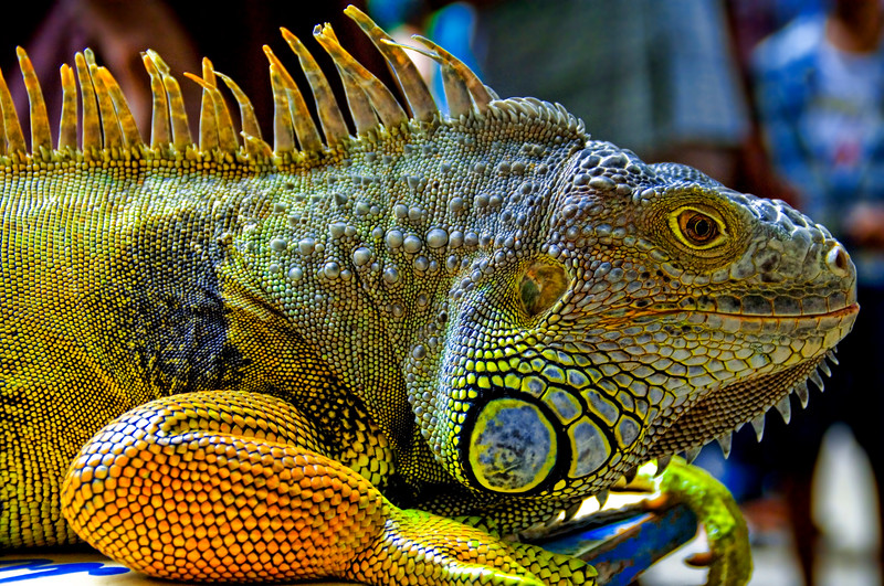 "<h2>Ready to Strike</h2> <br/>I found this guy in some caves just outside of Kuala Lumpur. I've always wanted one for a pet because it is both eccentric and people might mistake me for a bond villain.  I understand these can be house-trained even.  Well, one of these can be house-trained and the other kind, that looks similar, is quite dangerous and the bacteria in his saliva can kill you.  So, since I always get Gila Monsters and Iguanas confused, I never ended up getting one because I would hate to bring home the wrong thing.<br/><br>This was a single-shot HDR.  It really helped to bring out all the texture and color in the scales.  It was shot at a low f-stop to keep the focus on the creature, rather than its surroundings.<br/><br/>- Trey Ratcliff<br/><br/><a href=""http://www.stuckincustoms.com/2006/10/27/ready-to-strike/"" rel=""nofollow"">Click here to read the rest of this post at the Stuck in Customs blog.</a>"