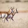 Pronghorn-NM-1580