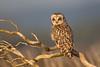Short-Eared Owl-5004