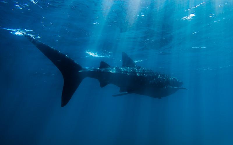 Sun Rays Murky Whaleshark
