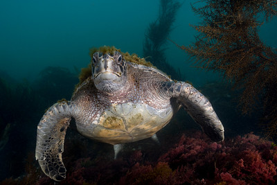 Green Sea Turtle - California