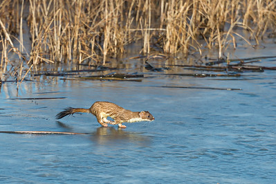 Stoat on ice