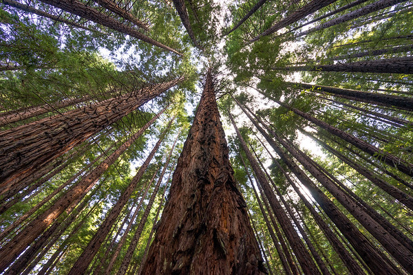 The Game of Redwoods