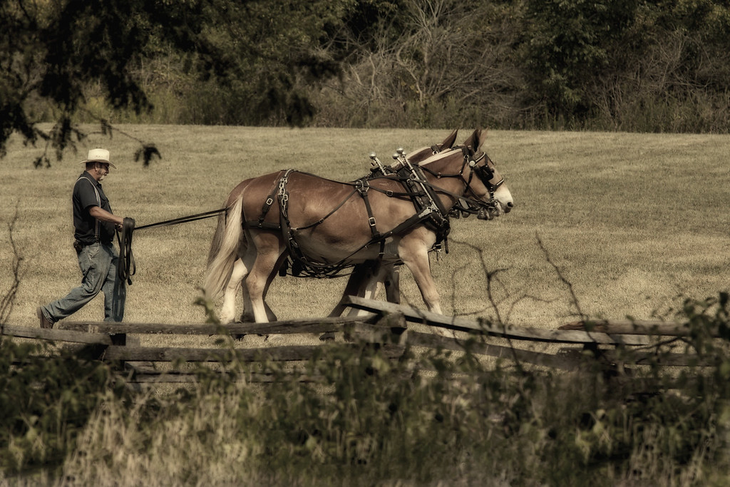 mule team taken by photographer Jerry Dalrymple