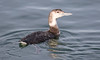Red-Throated Loon - Juvenile?-5590