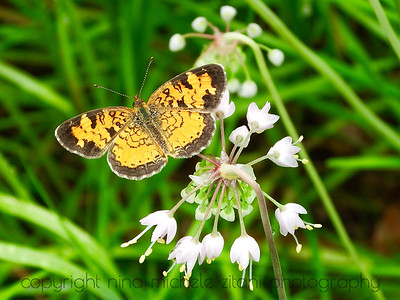 Phyciodes on Nodding Onion