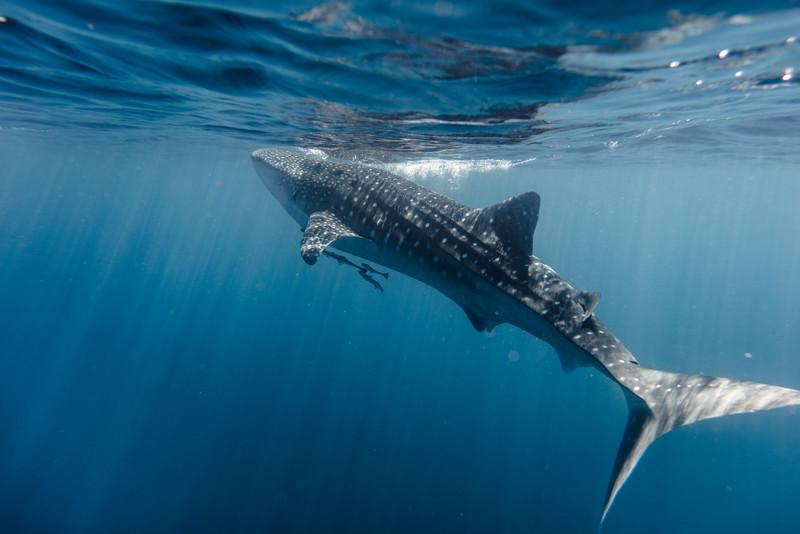Whaleshark Surfacing