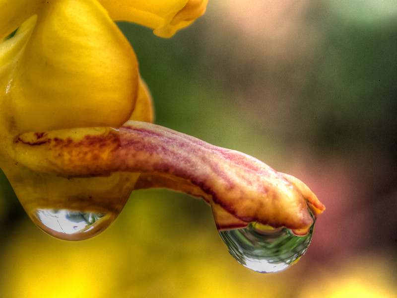 Dripping Orchid