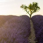 Sunset over lavanda fields, Valensole, Provence, 2020