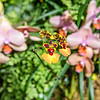 Colorful Oncidium Orchid Hybrid