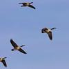 Wintering Geese
