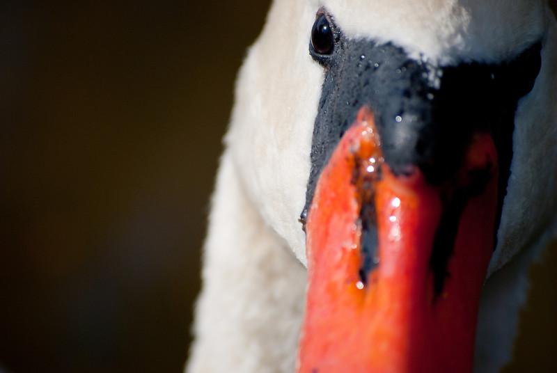 Close-up of a swan at Furman University, Greenville, SC.