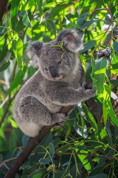 Eucalyptus leaf behind your ear